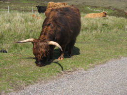 Steer grazing on the side of the road, as we ride by